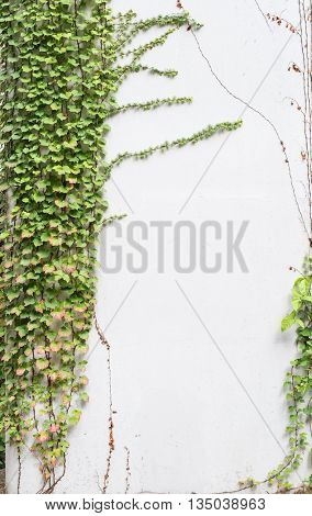 Green ivy on garden white wall