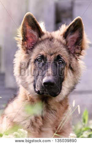Close-up of a six month old German Shepherd puppy looking into the camera. Extreme shallow depth of field with selective focus on dogs eyes.
