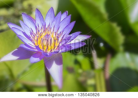 The lotus flower blooming in the pond.Purple lotus flower blooming in the pond.The purple water lily in the pond with the sun light.