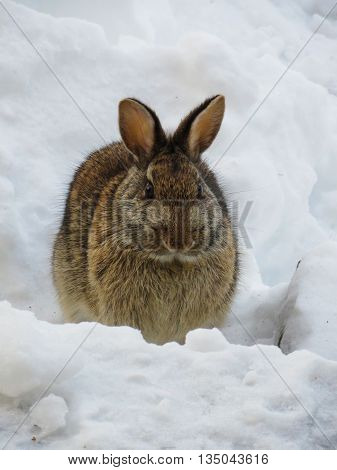 Brown common bunny in winter snow