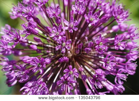 A purple allium onion flower macro closeup