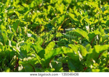 Beetroots Growing In Garden.