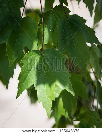 Group of Maple leaves hanging from a tree partially shadowed.