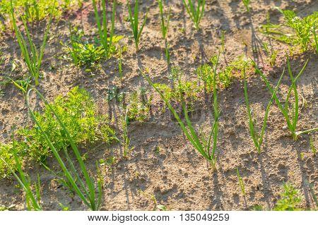 Vegeatables Growing In Garden