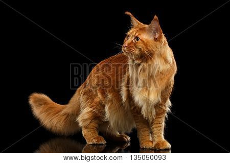 Red Maine Coon Cat with Furry Tail Standing and Looks at Side Isolated on Black Background