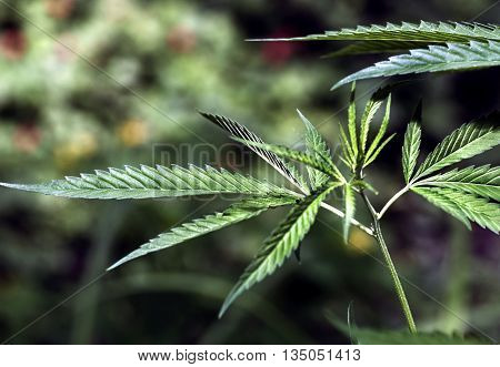 plant hemp, cannabis, marijuana on dark background