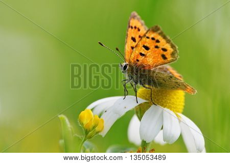 butterfly outdoor (lycaena dispar) in natural habitat sitting on white flower