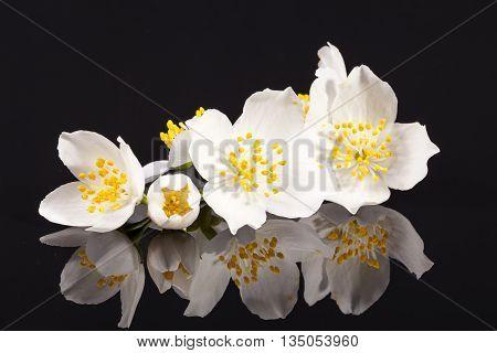 Jasmine flowers on isolated on black background close up.