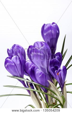 some spring flowers of violet crocus isolated on white background close up