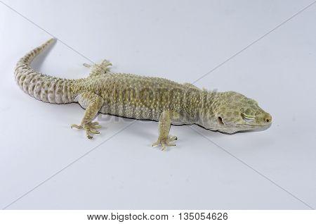 Leopard Gecko sleep on white back ground.