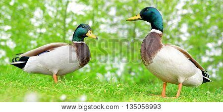 Wild ducks or mallard on green grass. Wildlife photo.