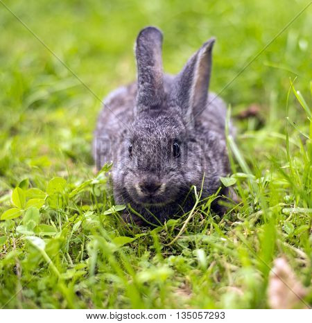 Beautiful young small rabbit on the green grass in summer day. Gray bunny rabbit on grass background