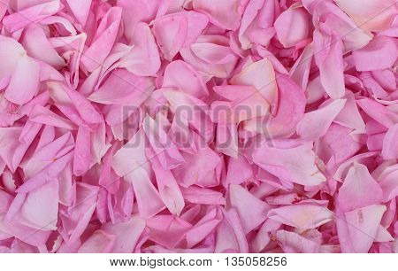 Pink rose petals background. Texture background of rose petals