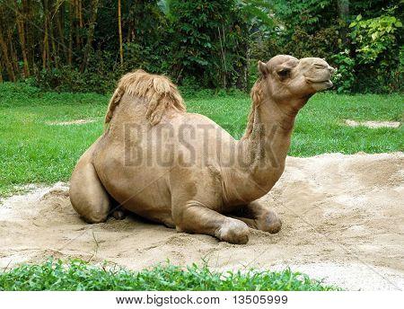 dromedary camel sit on sand