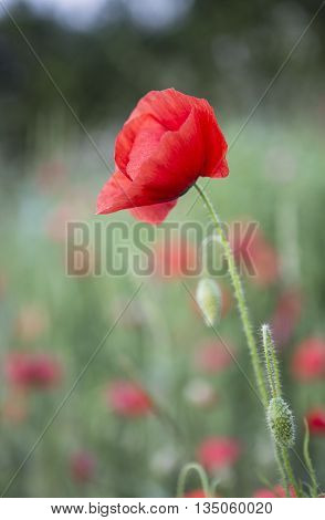 Close up of Red Poppys in a field