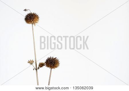 Dry Leonotis nepetifolia on white background. ** Note: Shallow depth of field