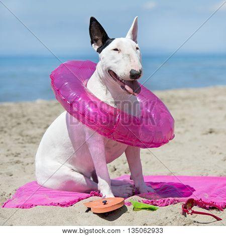 bull terrier sitting on the beach in France