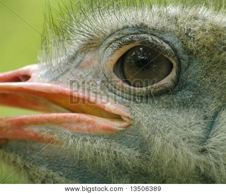 eye of ostrich close-up