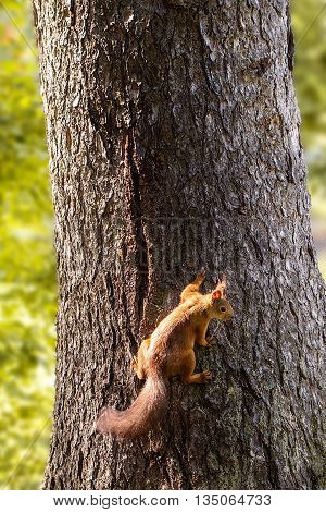 Squirrel on a tree in the park. Red squirrel. Close-up squirrel on a tree