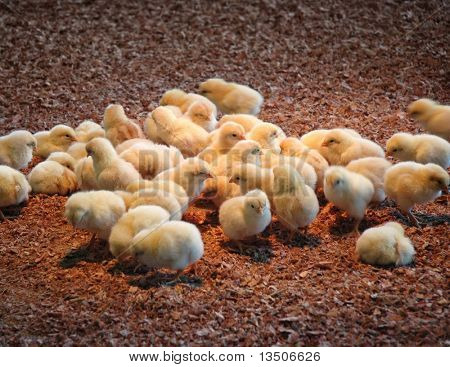 group of chick in farm