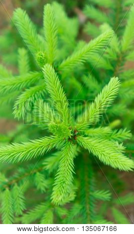 the small fir-tree grows in the wood, young, light, gentle small soft needles