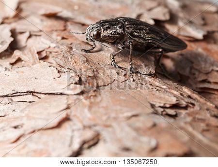 Macro Of Borer Beetle On Pine Tree