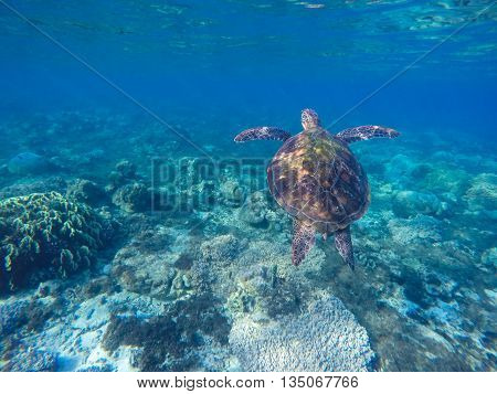 Sea turtle in blue water. Green turtle in coral reef. Blue sea and lovely sea animal. Snorkeling and diving with sea turtle.