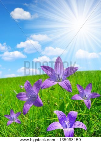 Bellflowers on spring meadow with sunny sky.
