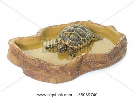 turtle in watering hole in front of white background