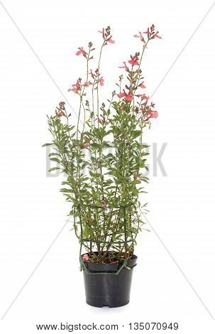 Salvia microphylla in front of white background