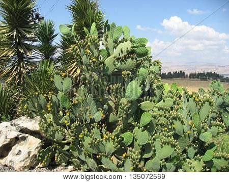 Towering Prickly Pear Cactus with Fruit and Flowers