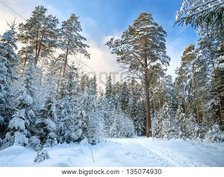 Beautiful winter landscape with the forest and the blue sky. Winter rural landscape with snow and trees in the forest . Frosty wintry day