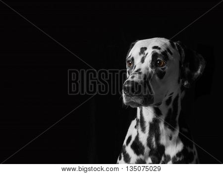 Portrait of a dalmatian dog on black background