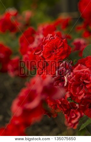 Saturated dark red flowers composition. Middleground composition with unfocused foreground.