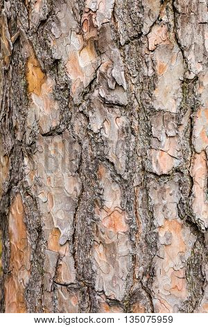 Bark on trunk of Scotch pine tree as background