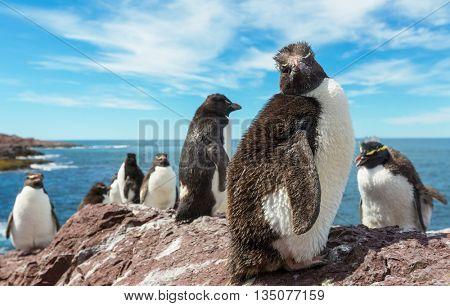 Rockhopper penguins in Southern Argentina