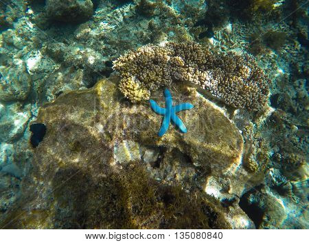 Starfish on the bottom, blue starfish in grey corals, underwater scenery, transparent water, sea animals, ocean life