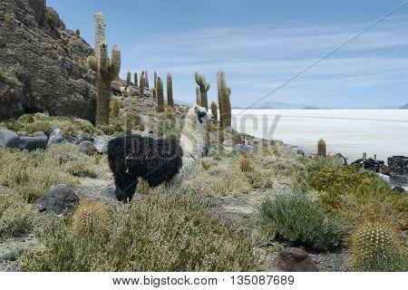 Llamas at Incahuasi Island Salar de Uyuni Bolivia