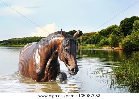 Redhead strong horse out of the water