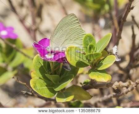 Cabbage White Butterfly Feeding On Primrose Flower