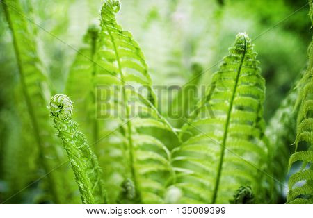 Wonderful fern in a forest with blurred background.