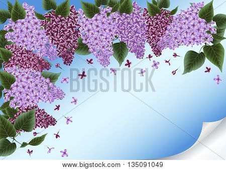 Illustration of lilac flowers border with curled corner