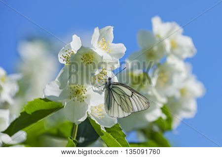 Butterfly sitting on flowering jasmine against the blue sky