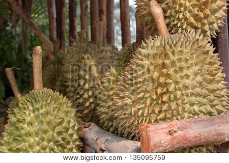 Durian Fresh , King of fruit in Thailand.