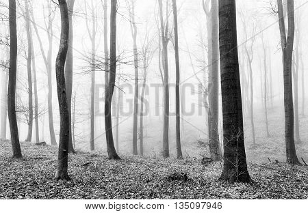Forest mist in Black and white at winter