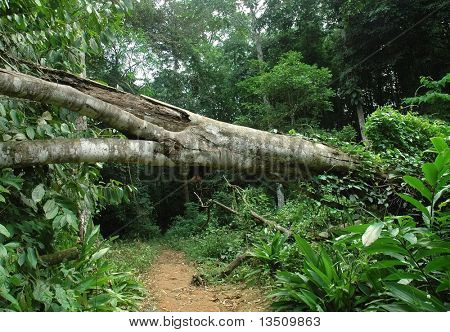 fallen tree in tropical forest