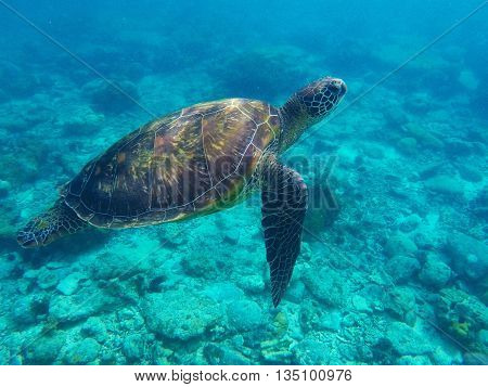 Sea turtle in blue water over coral reef, Philippines, Apo island