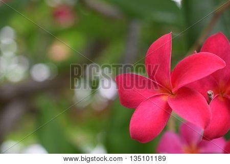 Beautiful red frangipani blooming on the tree