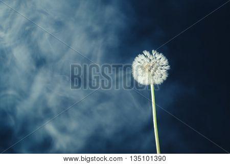 dandelion flower on haze background