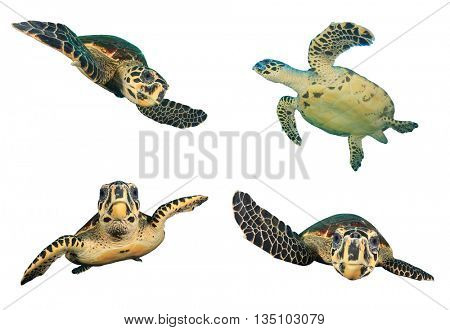 Sea Turtles isolated on white background (Hawksbill Turtle - Eretmochelys imbricata)